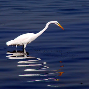Loopy Heron by Rich Eginton - Animals Birds ( water, reflection, blue, white, heron,  )