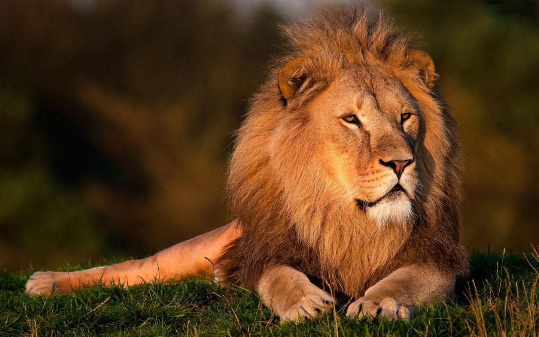Hd wallpaper lion - Lions Hd Wallpaper Screenshot