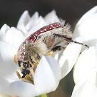 Cape protea beetle