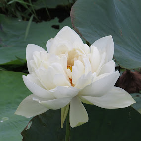 by Nisha B. - Flowers Single Flower ( water drop, lotus, point and shoot camera, october, india )