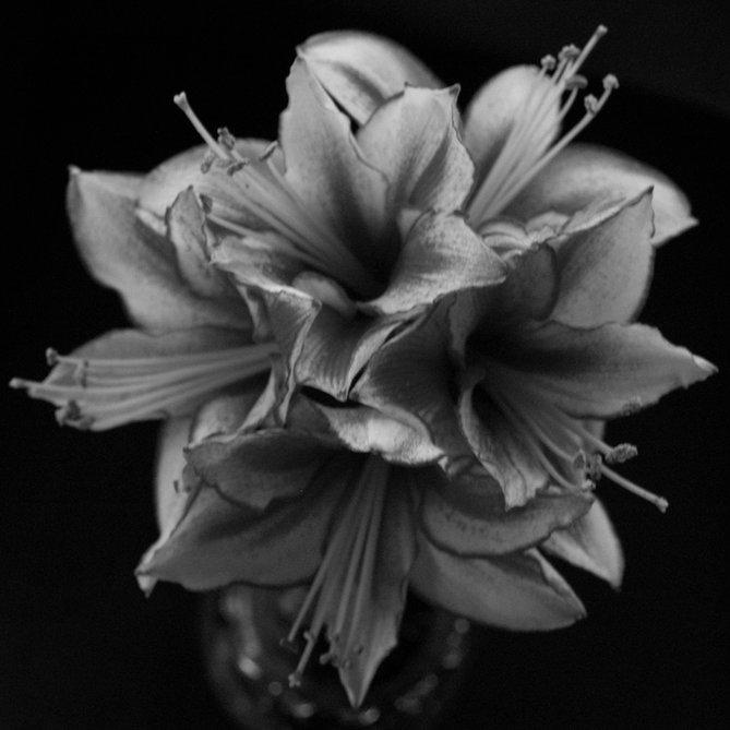 Amaryllis  by Robin Stoy - Flowers Flower Arangements