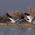 Siberian Crane