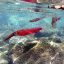Big fin reef squid