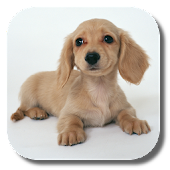 Dachshund HD Live Wallpaper