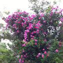 American beauty climber rose pink