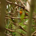 Red-billed Leiothrix