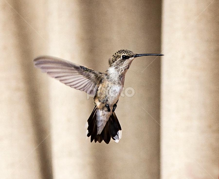 Just hanging out by Cheryl Nestico - Animals Birds ( flying, hummingbird, eating, backyard, birds, hummingbirds,  )