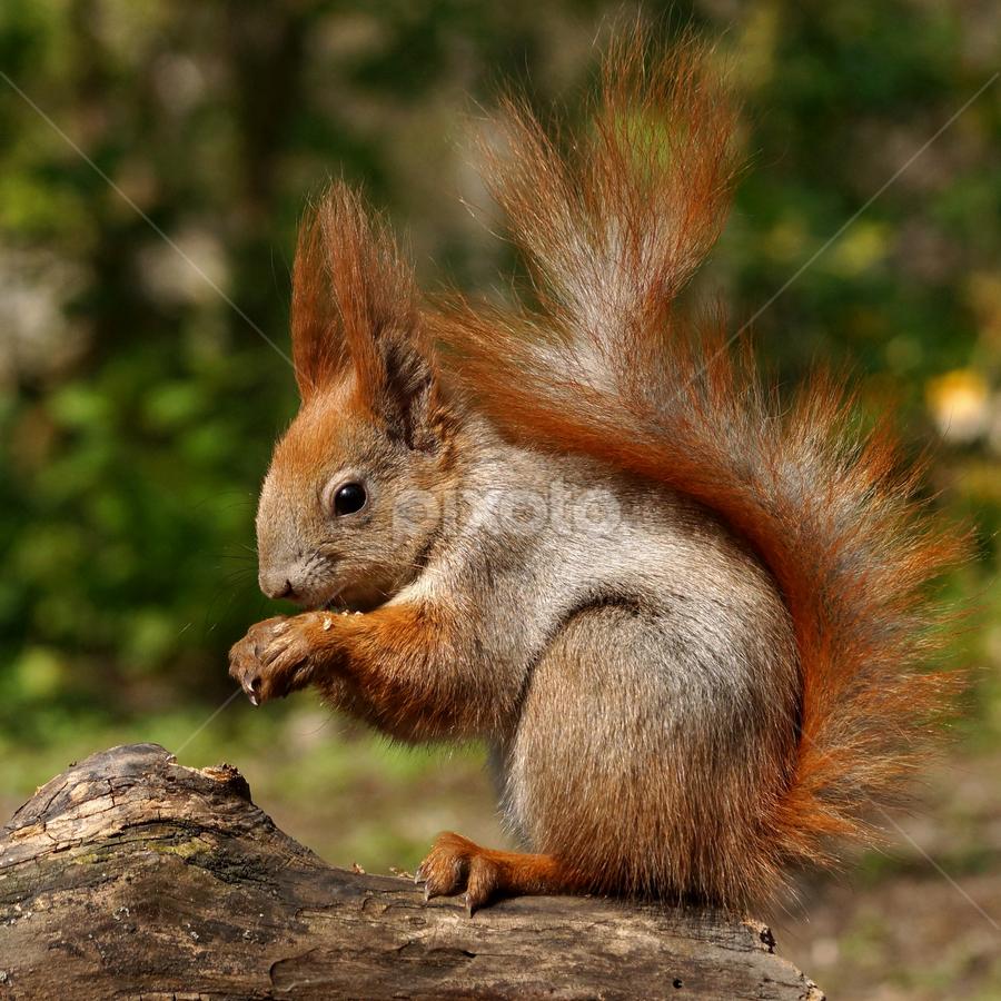 squirrel profile by Zoltan Szabo - Animals Other Mammals ( scuius vulgaris, tree, breakfast, nut, sng, forest, cute, mammal, squirrel )