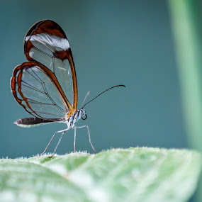Butterfly on a Leaf by Olga Gerik - Animals Insects & Spiders ( butterfly, macro, leaf,  )