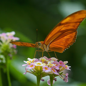 Butterfly by Dan Ferrin - Animals Insects & Spiders ( butterfly, butterflies, nature, insects, insect, animal )
