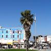 California Fan Palm tree