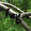 Tree-Ear ; Wood-Ear