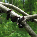 Tree-Ear ; Wood-Ear