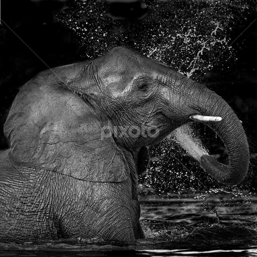 The Force by Lourens Lee Wildlife Photography - Black & White Animals ( water, animals, elephant, black white, wildlife, big5, africa,  )