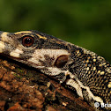 Spiny-neck Water Monitor