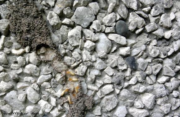 Biological control of philippine milk termite