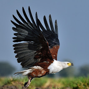 Fish eagle in flight by Joss van Wyk - Animals Birds ( chobe, botswana, fish eagle, africa, kasane )