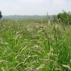 Poaceae (Gramíneas. Gramineae)