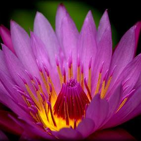 Blossom by Sraddheshnu Basu - Flowers Single Flower ( plant, pink flower, nature, close up flower, flower )