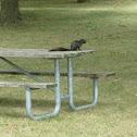 Eastern Gray Squirrel, Black morph