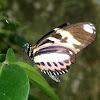 Heliconius ethilla polychrous. Mariposa, butterlfly, borboleta
