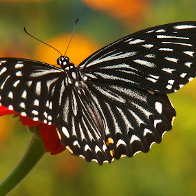 The Common Mime (Papilio clytia) by Anand Lepcha - Animals Other ( nature, butterflies, india, nikon, flies, animal, butterfy )