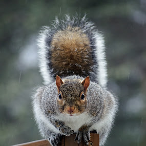 I See You by Jeff Galbraith - Animals Other Mammals ( screen, sitting, wooden, furry, privacy, grey, rodent, cute, squirrel, mammal, rain )