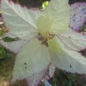 Hibiscus spp