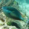 Redband Parrotfish (adult)
