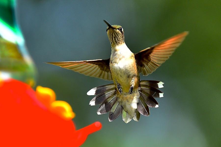 Hurray!!!!! by Roy Walter - Animals Birds ( flight, animals, nature, wings, hummingbird, wildlife, birds )