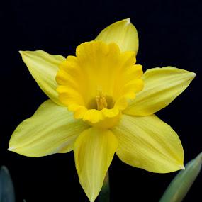 Yellow Daffodil by Raymond Umlas - Flowers Single Flower ( daffodil, yellow, flower )