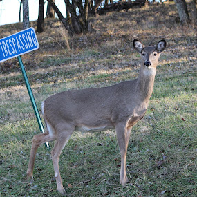 No Trespassing by Andy Bond - Animals Other Mammals ( doe, trespassing, mammal, deer, animal,  )