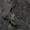 Two-tailed Spider (Molting)