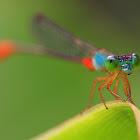 Ornate Coraltail or Bi-coloured Damsel