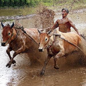 Traditional sport pacu jawi.jpg