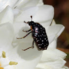 Common-dotted fruit chafer