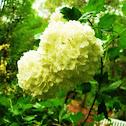 Snowball bloom
