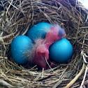 American robin (baby robin)
