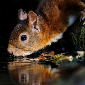 Quenching Thirst by Robert van Brug - Animals Other Mammals ( water, fall, red squirrel, drink, bos, forest, eekhoorn, herfst, thirst, sciurus vulgaris )
