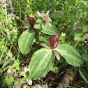 Wake Robin/ Sweet Betsy trillium