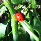 Convergent Lady bug
