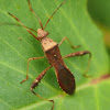 Bean Bug