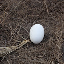 Albatross egg