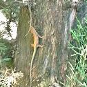 Lagartija iberica, iberian wall lizard