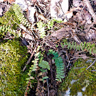 Ebony spleenwort