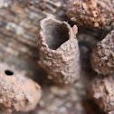 Mud Dauber Nest