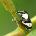 Black and White Weevil