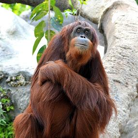 Orangutan by Milton Moreno - Animals Other Mammals ( orangutangs, animals, monkeys, ape, apes, orangutang, monkey )