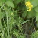 Meadow Vetchling, Wiesen-Platterbse