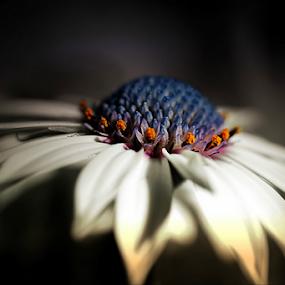 Blue Universe Macro by Darlene Lankford Honeycutt - Flowers Single Flower ( lit, macro, single, african, blue, white, dl honeycutt, daisy, flower )
